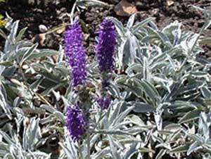 Вероника длиннолистная (Veronica longifolia L)