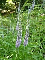 Вероника седая (Veronica incana L.) Народные названия:сердечная трава