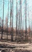 Рис. 3. Вы видите, как выглядит гарь в первый год после пожара.