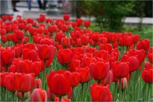 Тюльпаны_Лактюшкин С.