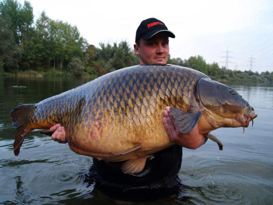 толстолобик что за рыба и как