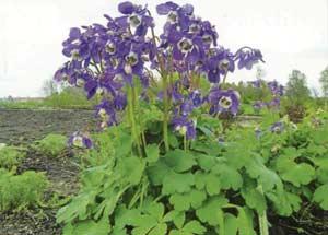 Aquilegia sibirica Lam.  – Водосбор сибирский
