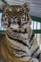Тигр. Фото Ивана Долгова