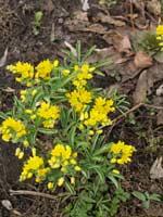 Гимноспермум алтайский эндемик