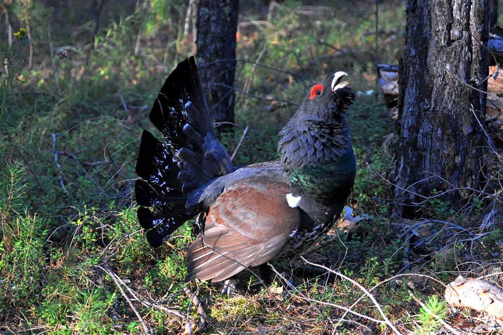 Птицы для охоты россии