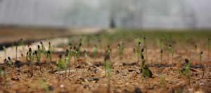 всходы сосны обыкновенной появляются на 10-15 день после посева семян. Сеянцы сосны  возраст 1сутки