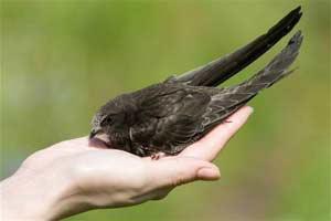 «Черный стриж – птица года»