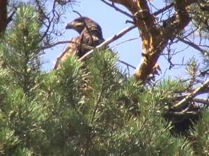 Птенец орлана-белохвоста в гнезде. Фото Е.Н. Зайцева