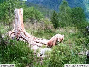 нимки представителей фауны Катунского биосферного заповедника с фотоловушек