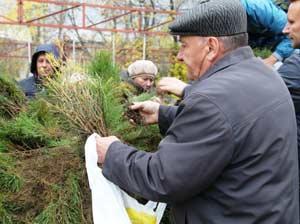 жители Барнаула бесплатно получили 50 тысяч саженцев сосны и лиственницы