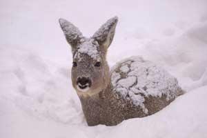 Косуля в снегу