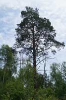 Дерево-исполин