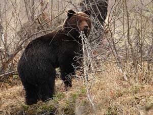 медведь И. Артамонов