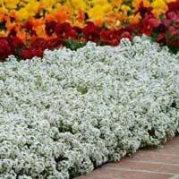Алиссум – цветок с обворожительным запахом