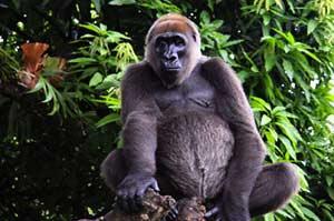 Речная горилла
