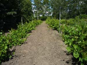 Содержание почвы – рыхлое, без сорняков