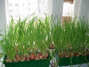 выращивание лука на подоконнике