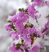 Праздник «Цветение маральника»