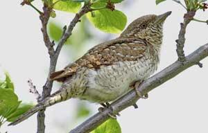 Вертишейка на сайте «Птицы Сибири»