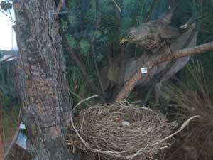 выставка «Гнёзда, яйца и птенцы»