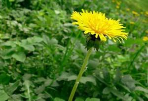 Дикорастущие растения в вашем саду