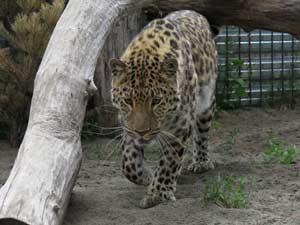 Дальневосточный леопард Елисей