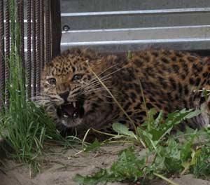 Дальневосточный леопард, самка